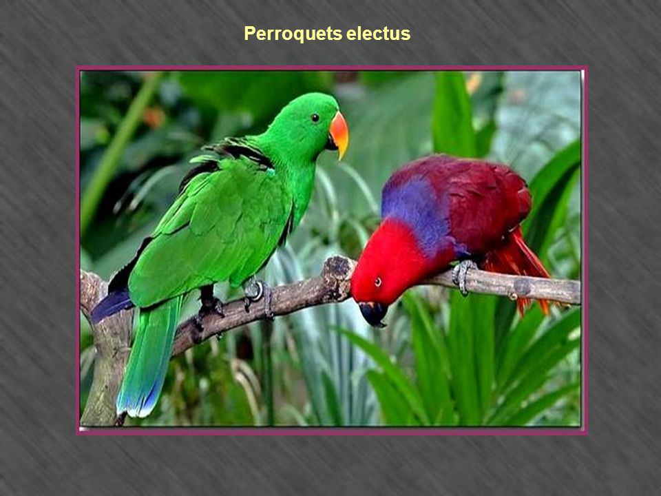 Perroquets electus