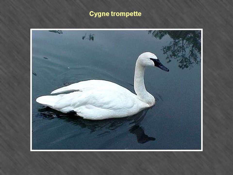 Cygne trompette