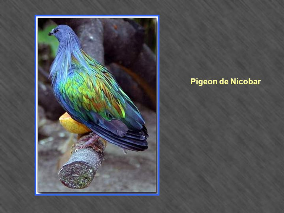 Pigeon de Nicobar