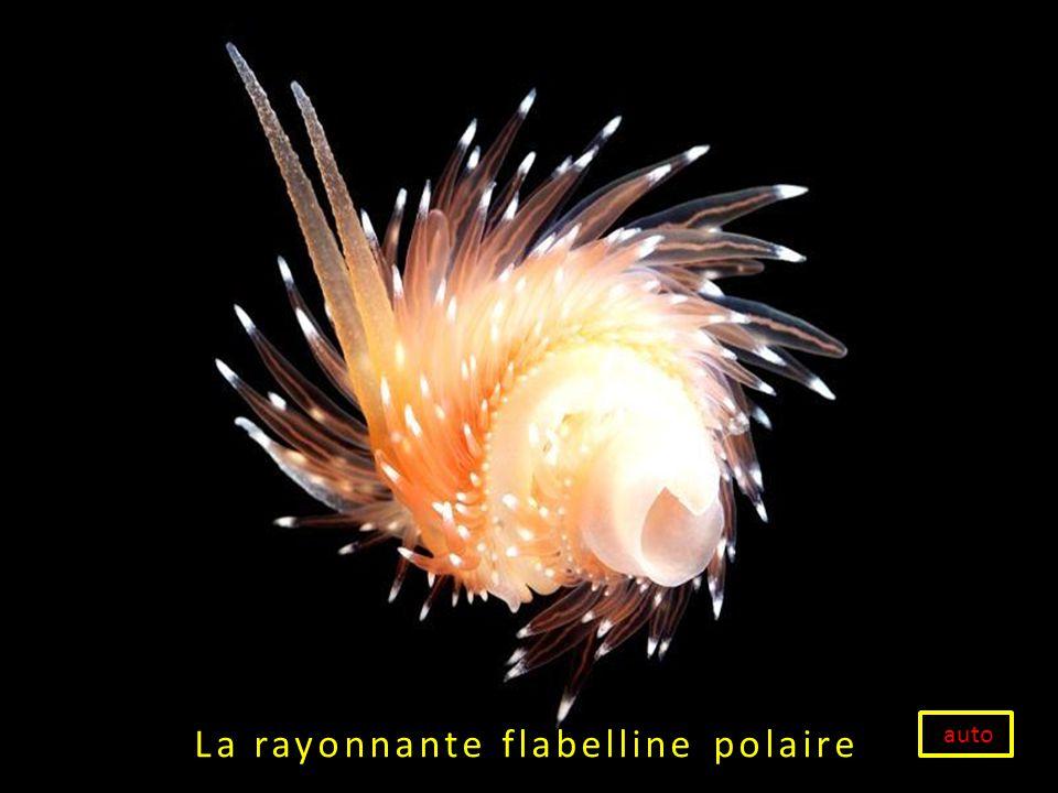 La rayonnante flabelline polaire