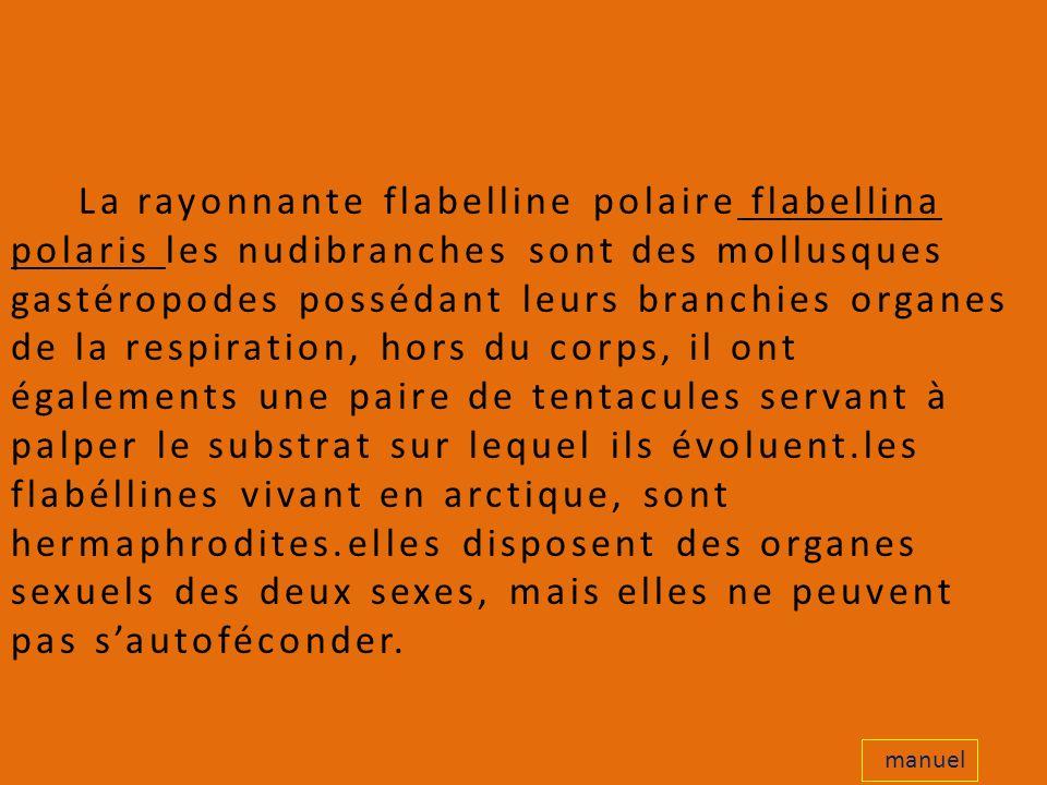 La rayonnante flabelline polaire flabellina polaris les nudibranches sont des mollusques gastéropodes possédant leurs branchies organes de la respiration, hors du corps, il ont égalements une paire de tentacules servant à palper le substrat sur lequel ils évoluent.les flabéllines vivant en arctique, sont hermaphrodites.elles disposent des organes sexuels des deux sexes, mais elles ne peuvent pas s'autoféconder.