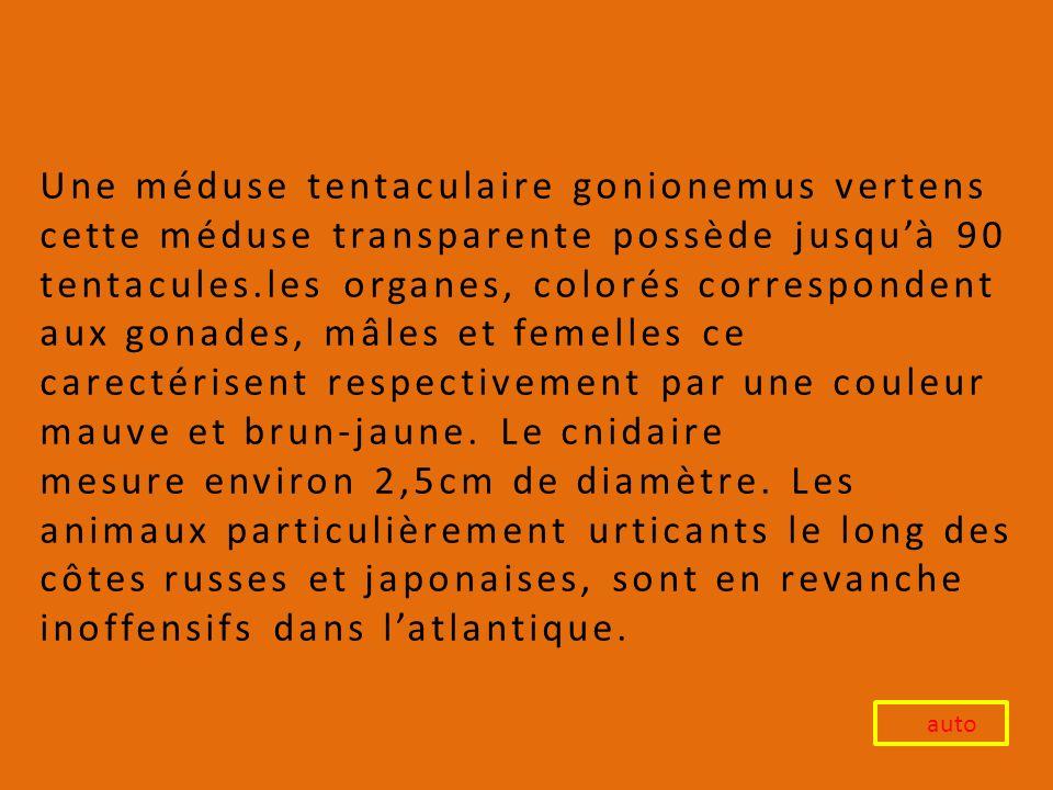 Une méduse tentaculaire gonionemus vertens cette méduse transparente possède jusqu'à 90 tentacules.les organes, colorés correspondent aux gonades, mâles et femelles ce carectérisent respectivement par une couleur mauve et brun-jaune. Le cnidaire