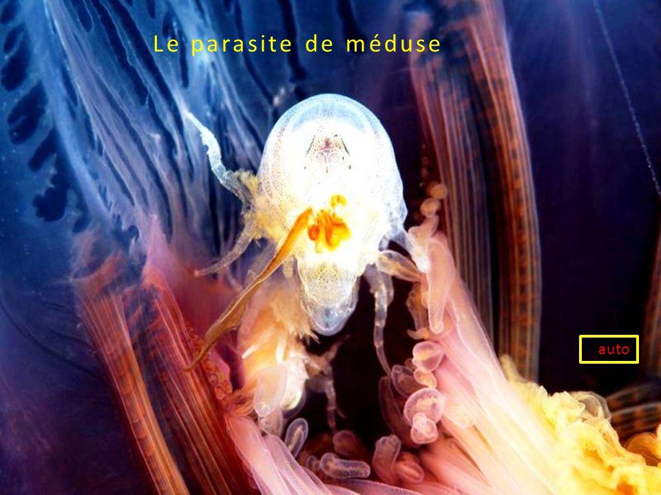 Le parasite de méduse auto