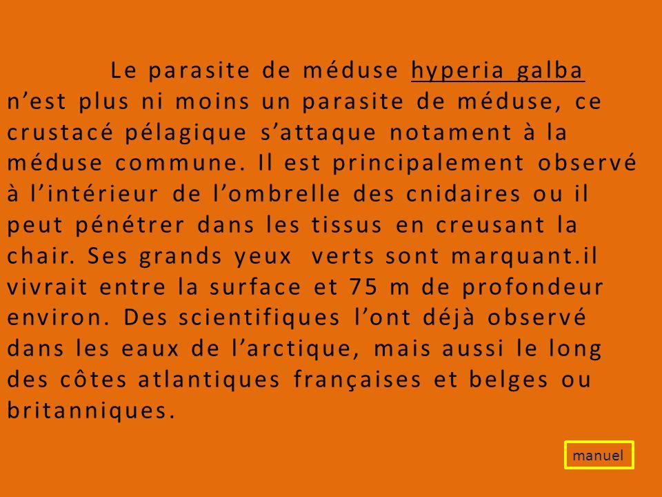 Le parasite de méduse hyperia galba n'est plus ni moins un parasite de méduse, ce crustacé pélagique s'attaque notament à la méduse commune. Il est principalement observé à l'intérieur de l'ombrelle des cnidaires ou il peut pénétrer dans les tissus en creusant la chair. Ses grands yeux verts sont marquant.il vivrait entre la surface et 75 m de profondeur environ. Des scientifiques l'ont déjà observé dans les eaux de l'arctique, mais aussi le long des côtes atlantiques françaises et belges ou britanniques.