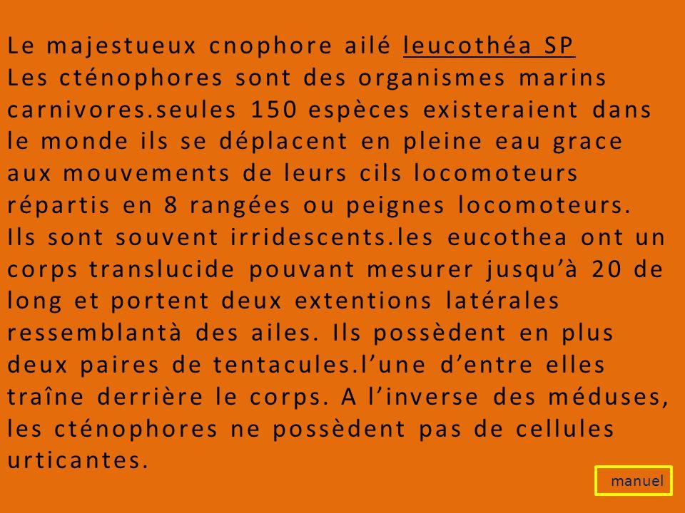 Le majestueux cnophore ailé leucothéa SP