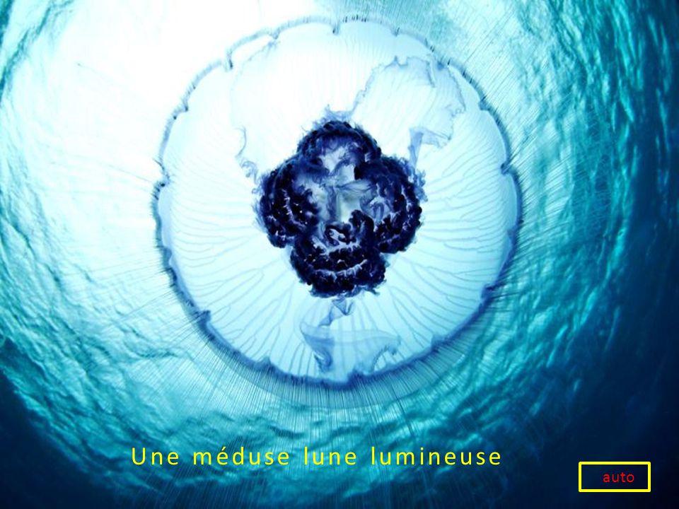 Une méduse lune lumineuse