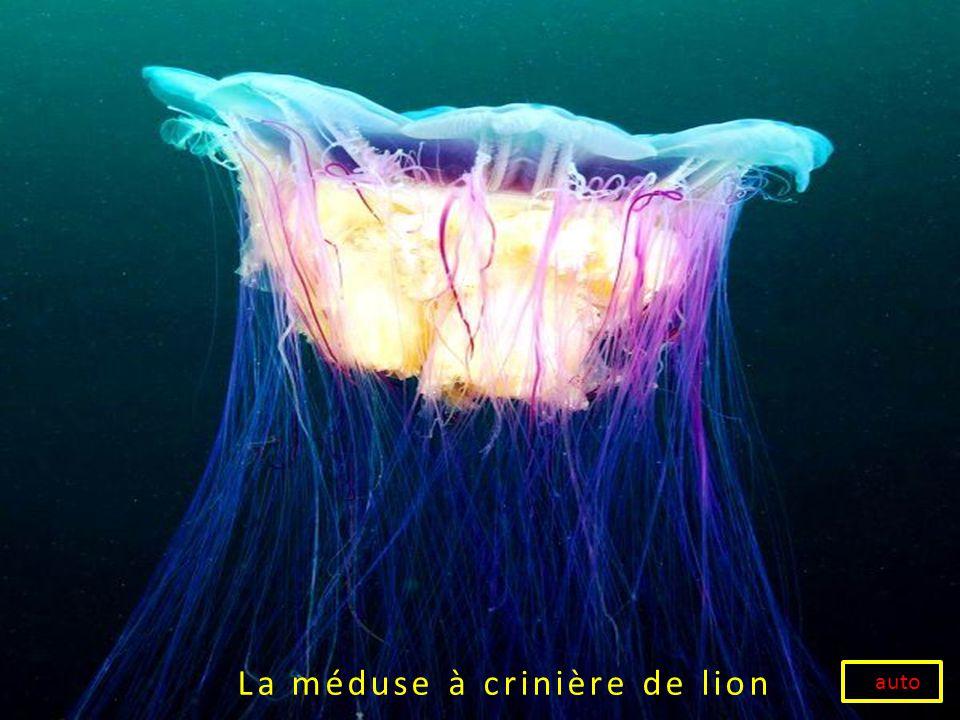 La méduse à crinière de lion