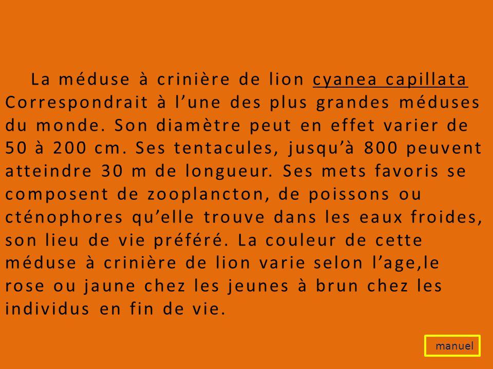 La méduse à crinière de lion cyanea capillata