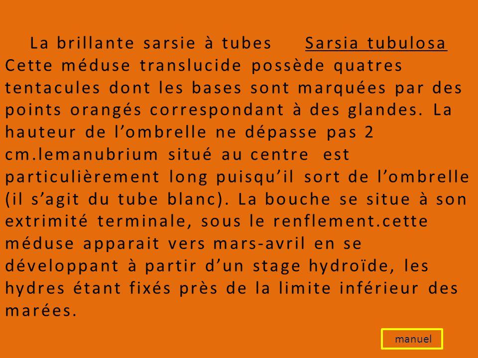 La brillante sarsie à tubes Sarsia tubulosa