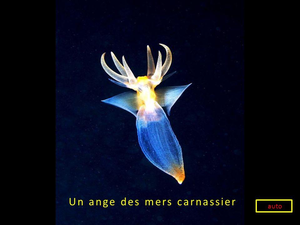 Un ange des mers carnassier