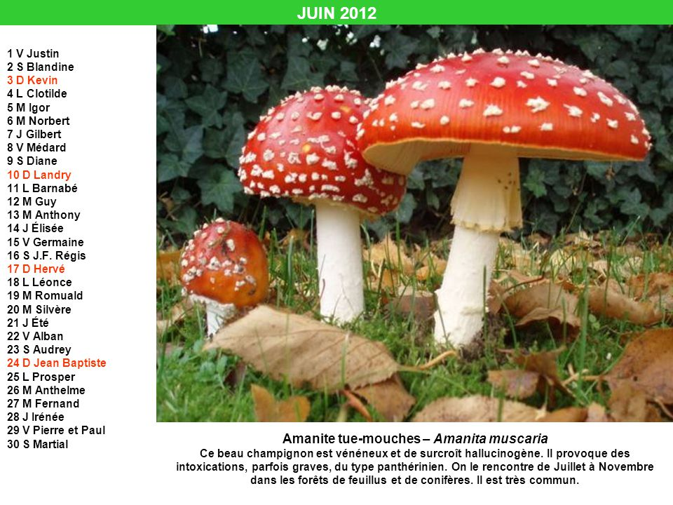 Amanite tue-mouches – Amanita muscaria