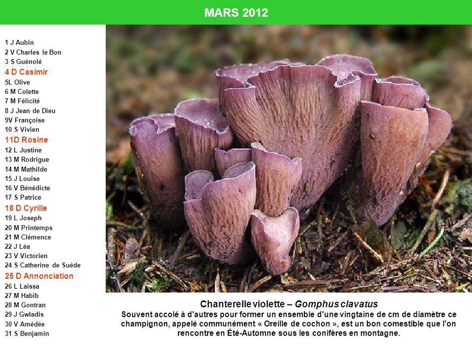 Chanterelle violette – Gomphus clavatus