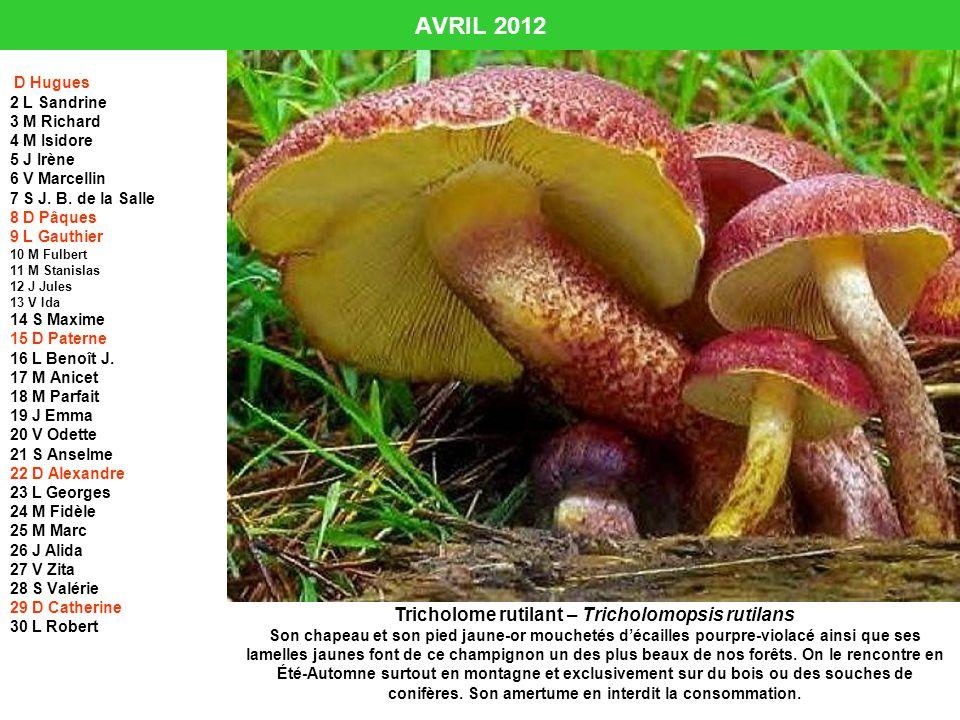 Tricholome rutilant – Tricholomopsis rutilans