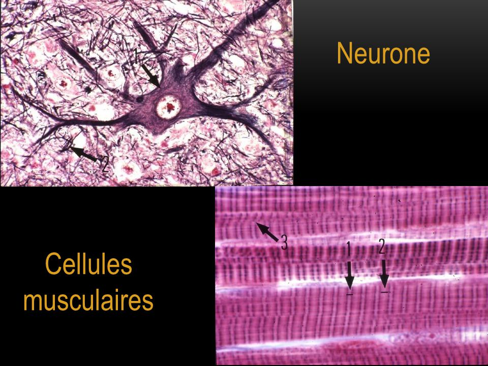 Neurone Cellules musculaires