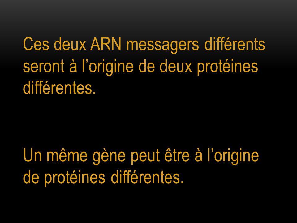 Ces deux ARN messagers différents seront à l'origine de deux protéines différentes.