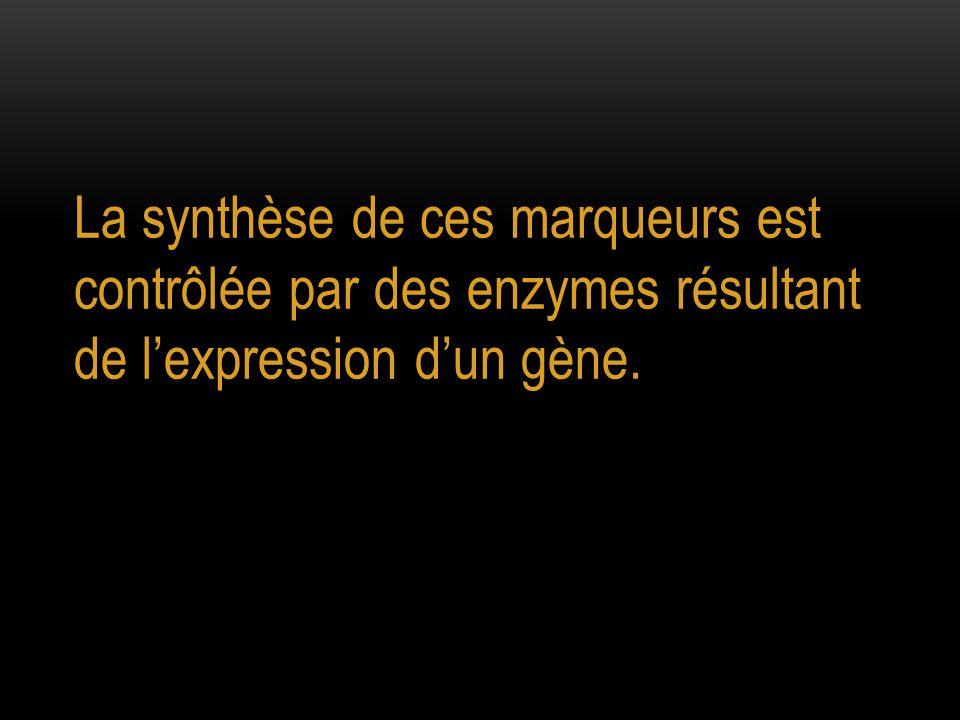 La synthèse de ces marqueurs est contrôlée par des enzymes résultant de l'expression d'un gène.