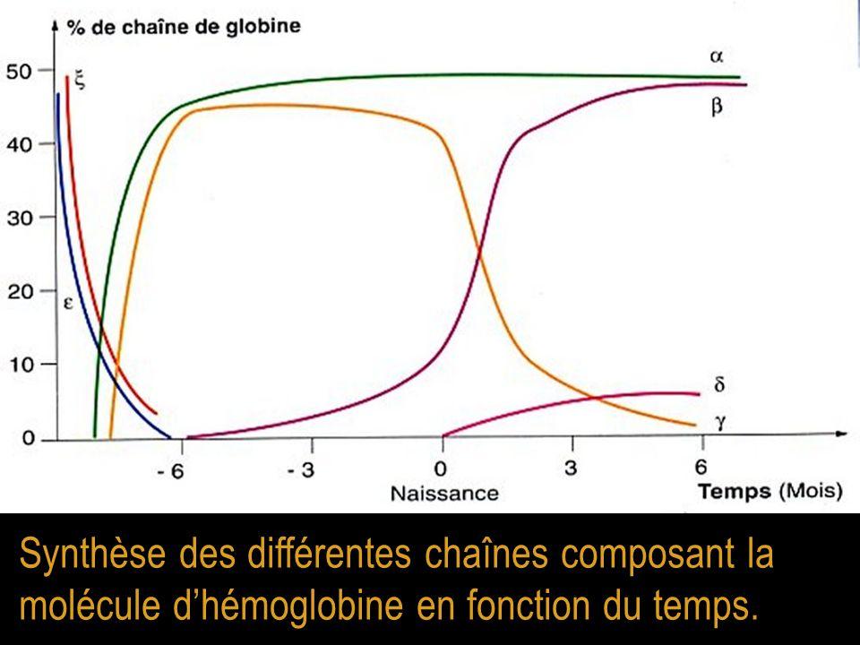 Synthèse des différentes chaînes composant la molécule d'hémoglobine en fonction du temps.