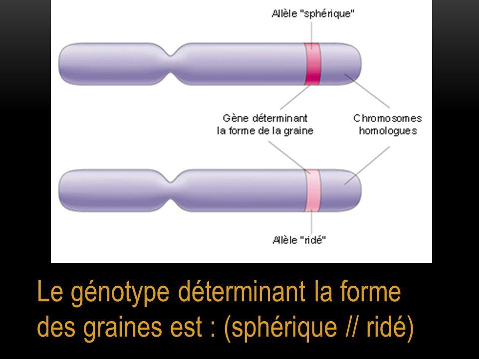 Le génotype déterminant la forme des graines est : (sphérique // ridé)