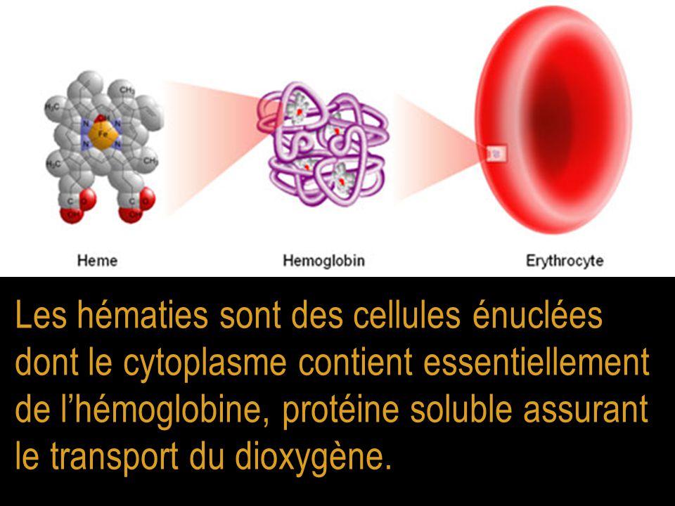 Les hématies sont des cellules énuclées dont le cytoplasme contient essentiellement de l'hémoglobine, protéine soluble assurant le transport du dioxygène.