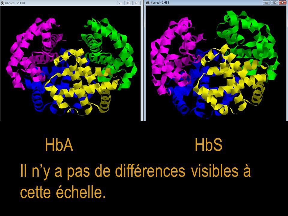 HbA HbS Il n'y a pas de différences visibles à cette échelle.