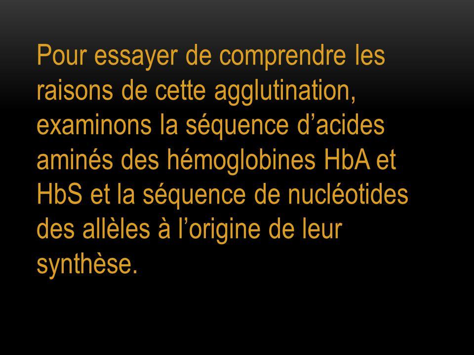 Pour essayer de comprendre les raisons de cette agglutination, examinons la séquence d'acides aminés des hémoglobines HbA et HbS et la séquence de nucléotides des allèles à l'origine de leur synthèse.
