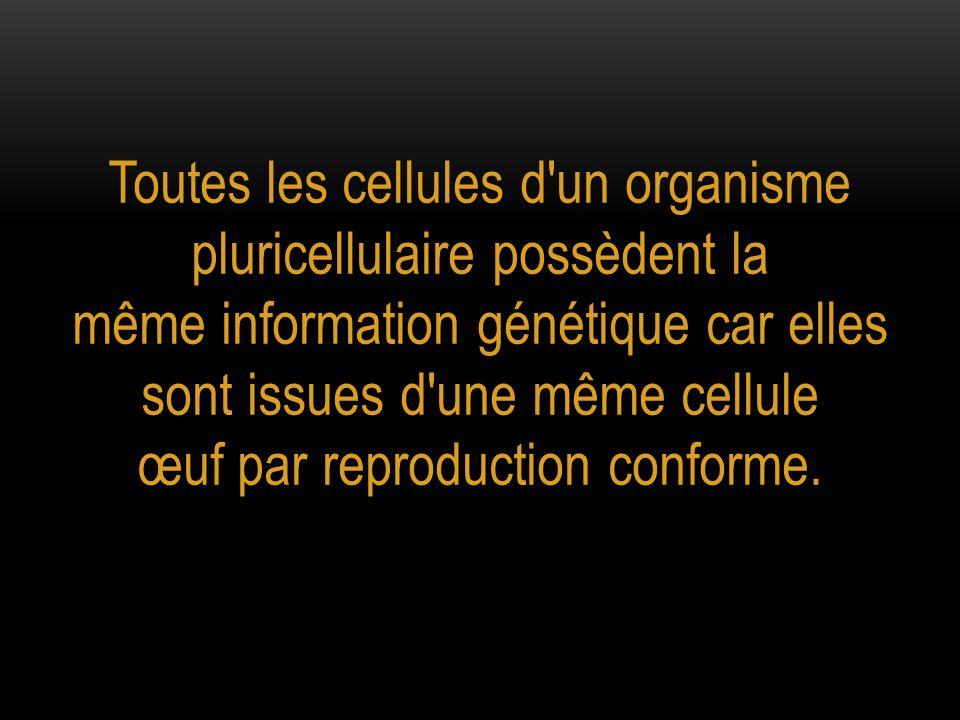 Toutes les cellules d un organisme pluricellulaire possèdent la même information génétique car elles sont issues d une même cellule œuf par reproduction conforme.