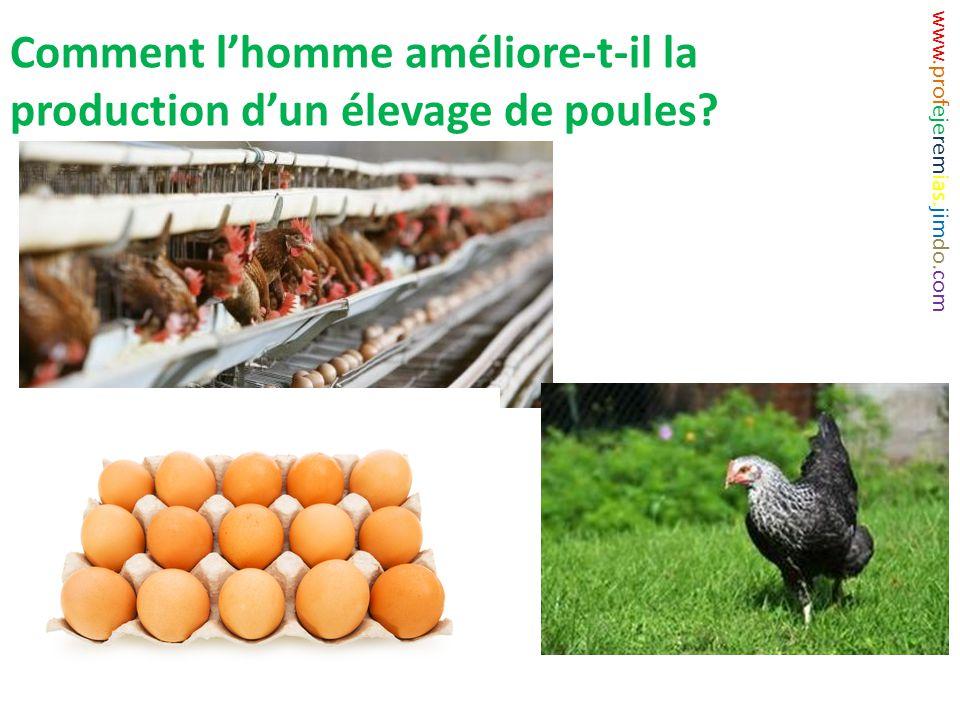 Comment l'homme améliore-t-il la production d'un élevage de poules