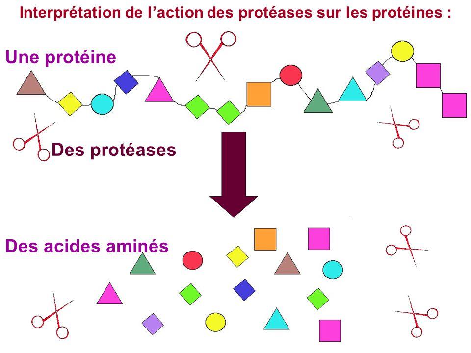 Interprétation de l'action des protéases sur les protéines :
