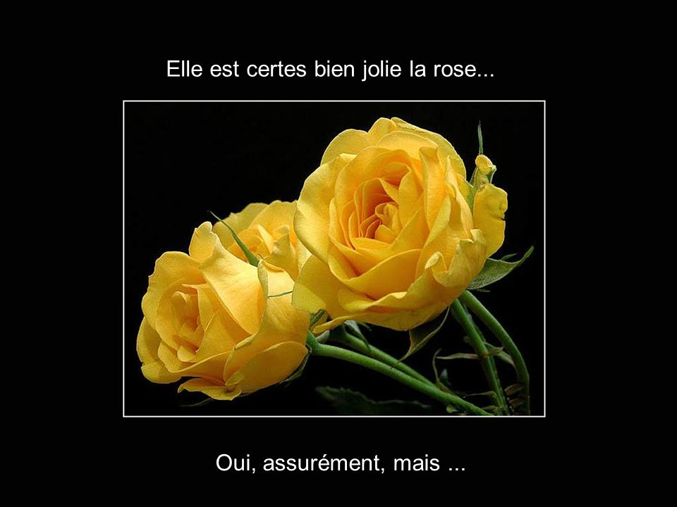 Elle est certes bien jolie la rose...