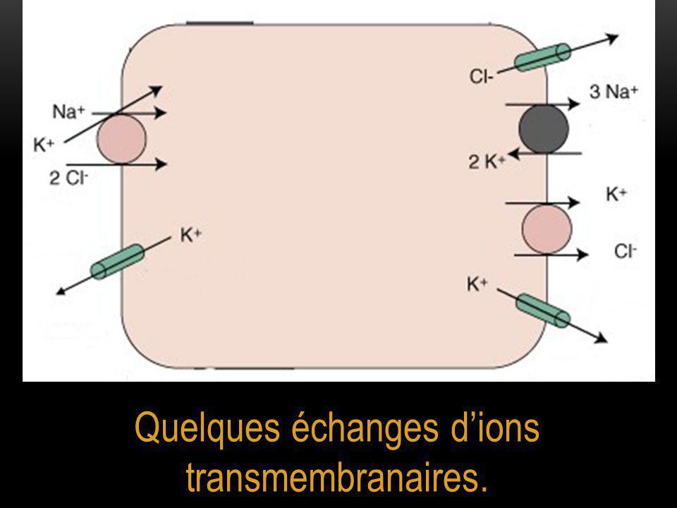 Quelques échanges d'ions transmembranaires.
