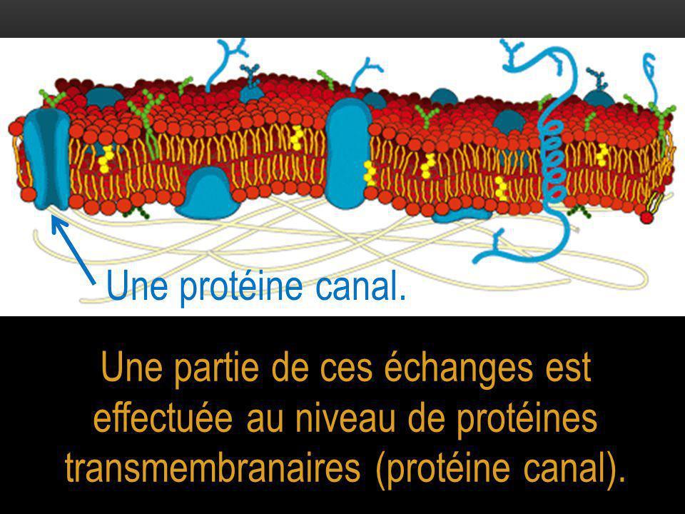 Une protéine canal.