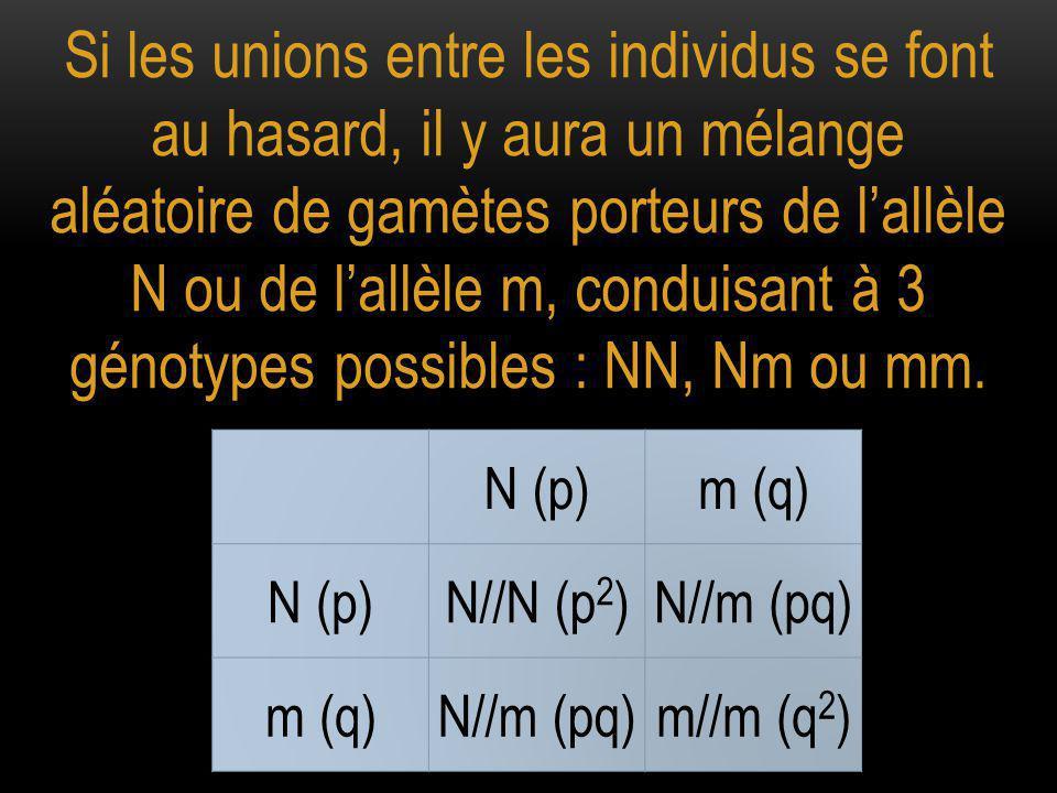Si les unions entre les individus se font au hasard, il y aura un mélange aléatoire de gamètes porteurs de l'allèle N ou de l'allèle m, conduisant à 3 génotypes possibles : NN, Nm ou mm.