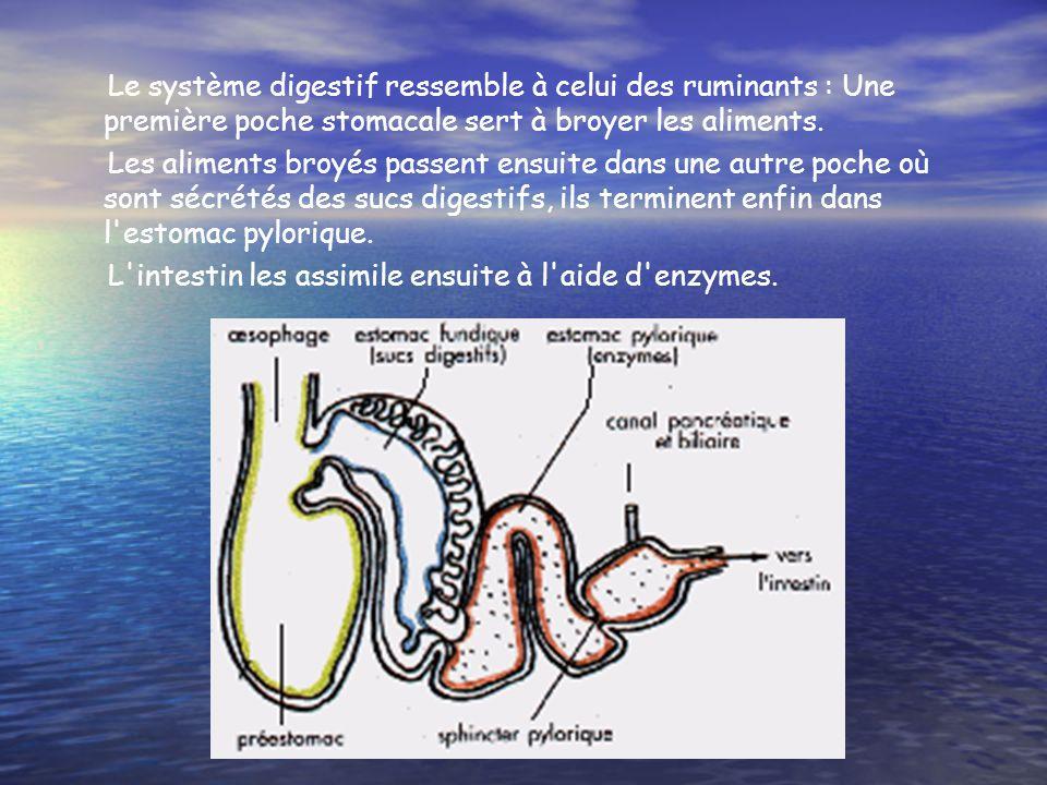 Le système digestif ressemble à celui des ruminants : Une première poche stomacale sert à broyer les aliments.
