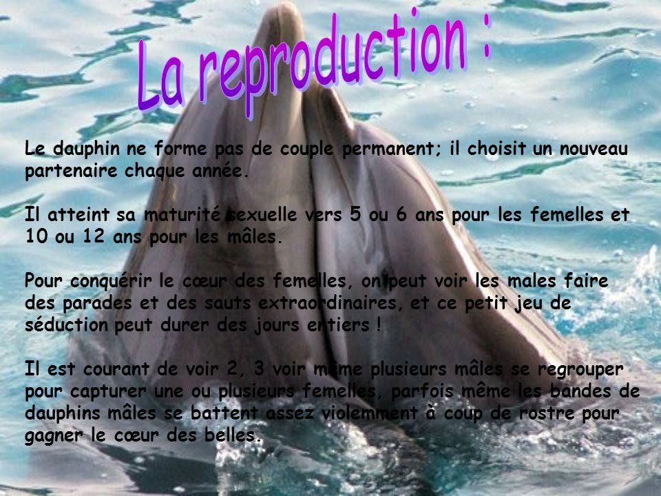La reproduction : Le dauphin ne forme pas de couple permanent; il choisit un nouveau partenaire chaque année.