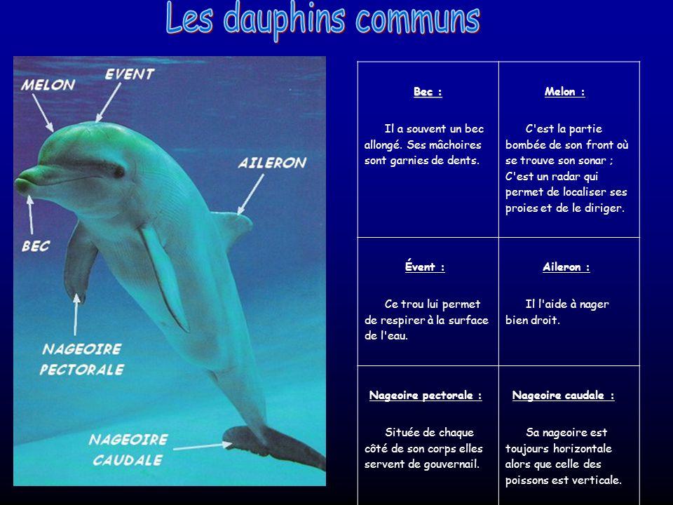 Les dauphins communs Bec :