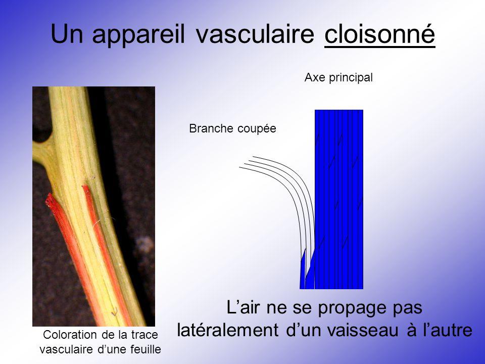 Un appareil vasculaire cloisonné