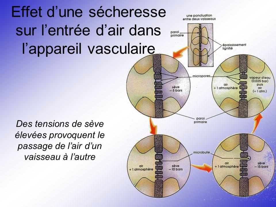 Effet d'une sécheresse sur l'entrée d'air dans l'appareil vasculaire