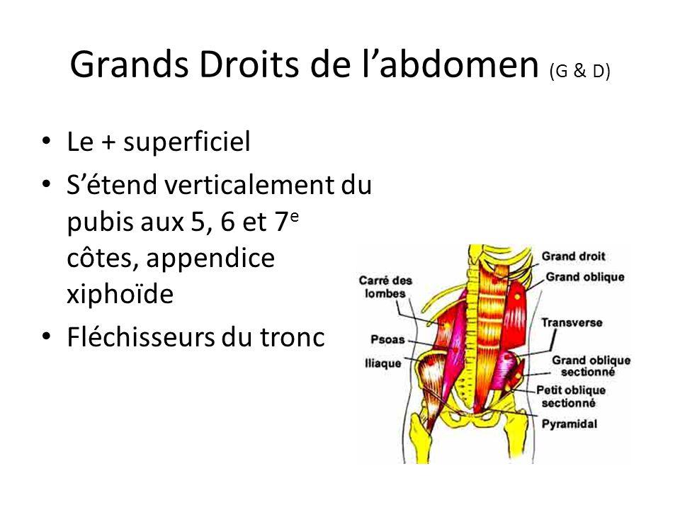 Grands Droits de l'abdomen (G & D)