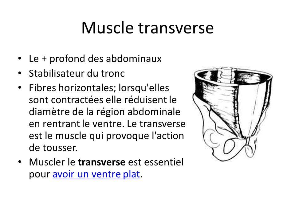 Muscle transverse Le + profond des abdominaux Stabilisateur du tronc