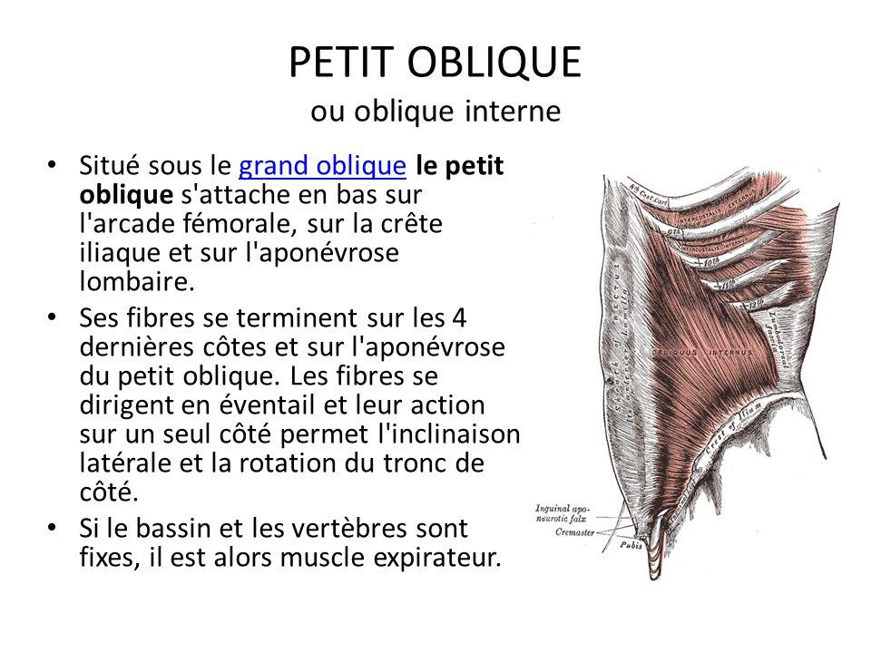 PETIT OBLIQUE ou oblique interne