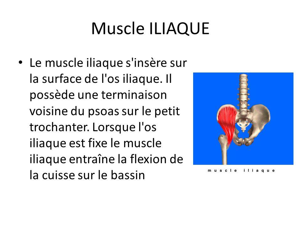 Muscle ILIAQUE