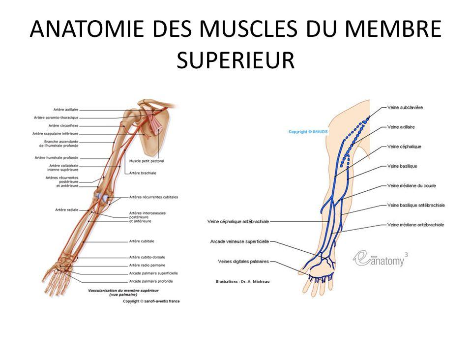 ANATOMIE DES MUSCLES DU MEMBRE SUPERIEUR