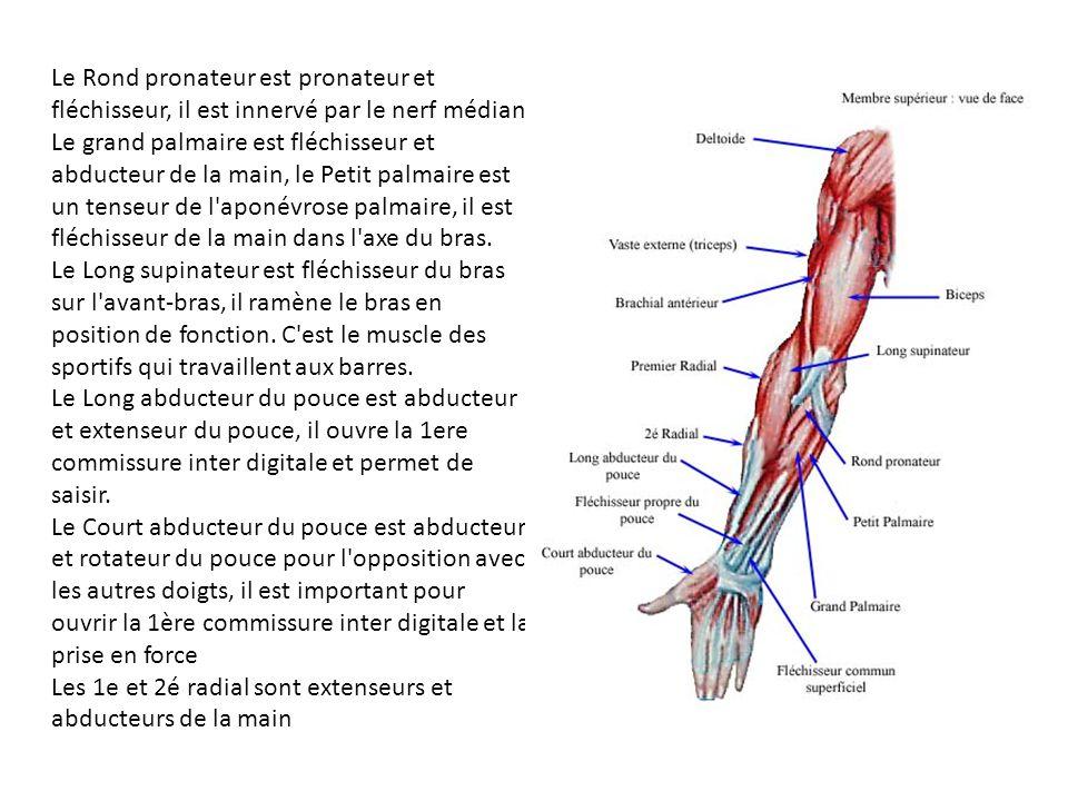 Le Rond pronateur est pronateur et fléchisseur, il est innervé par le nerf médian.