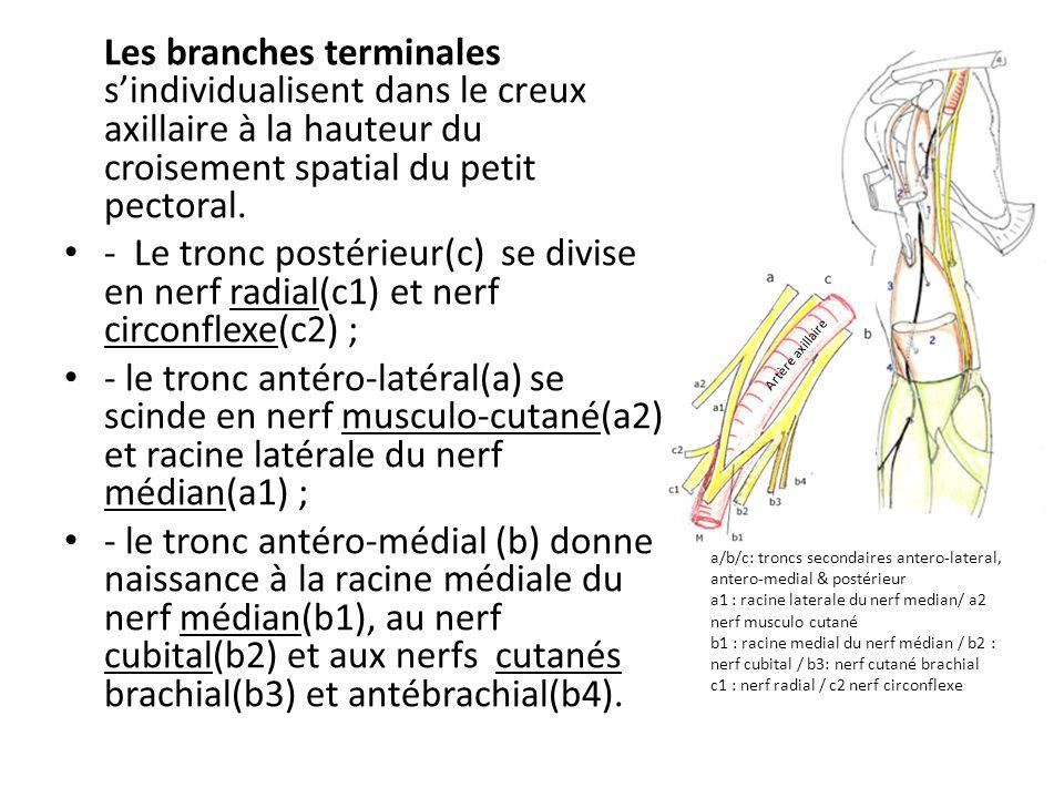 Les branches terminales s'individualisent dans le creux axillaire à la hauteur du croisement spatial du petit pectoral.