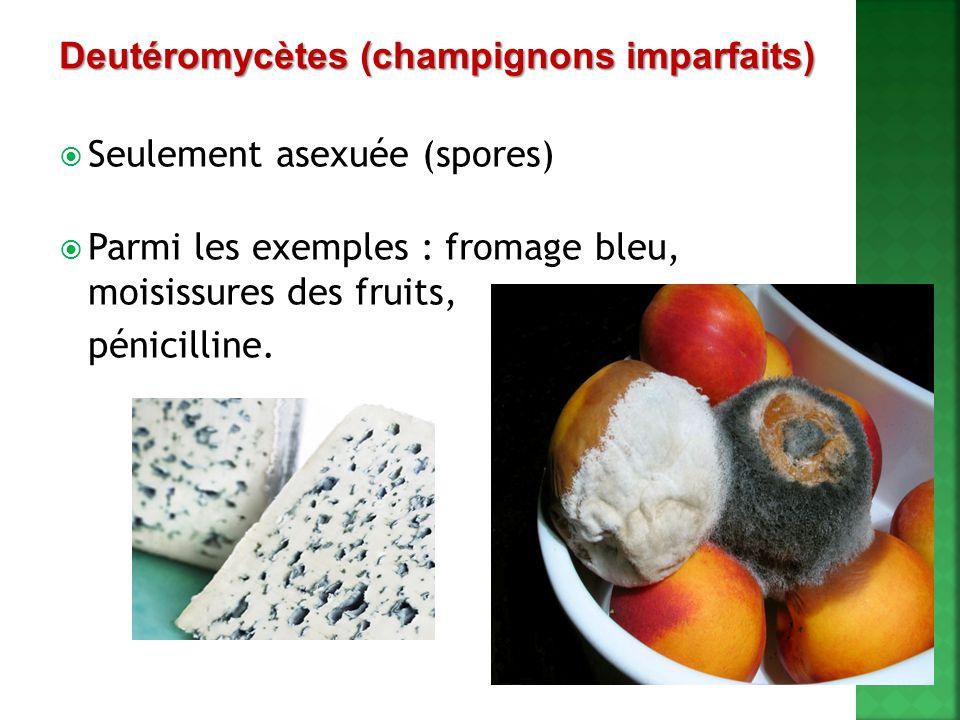 Deutéromycètes (champignons imparfaits)