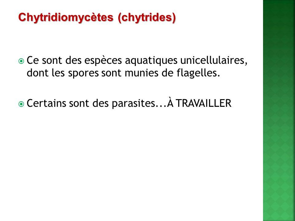 Chytridiomycètes (chytrides)