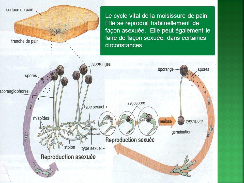 Le cycle vital de la moisissure de pain