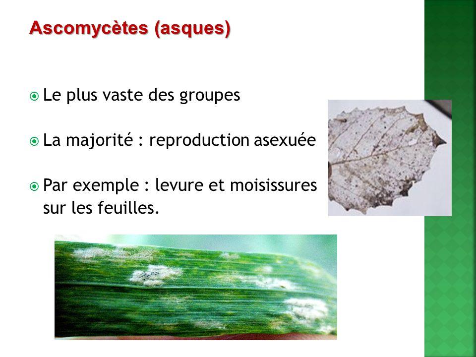 Ascomycètes (asques) Le plus vaste des groupes