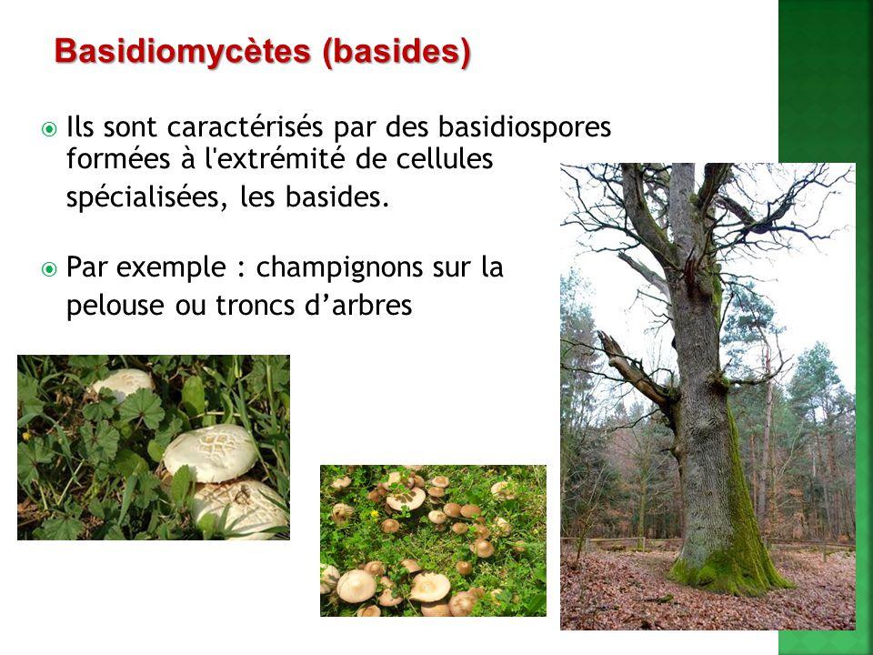 Basidiomycètes (basides)