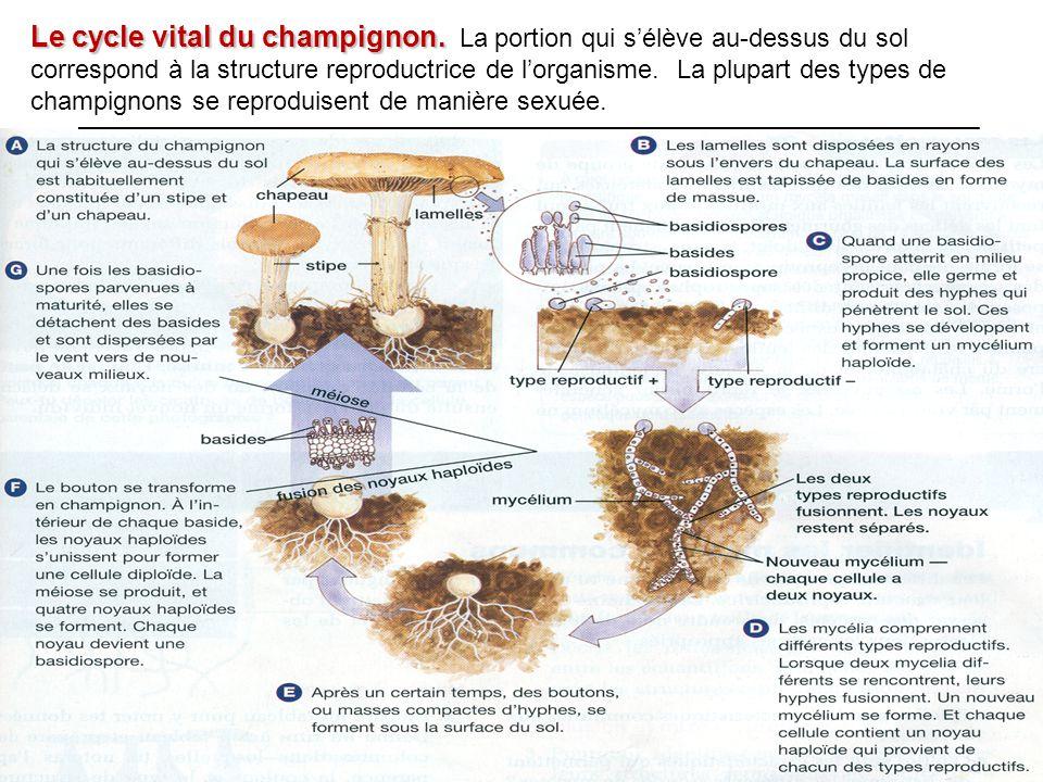 Le cycle vital du champignon